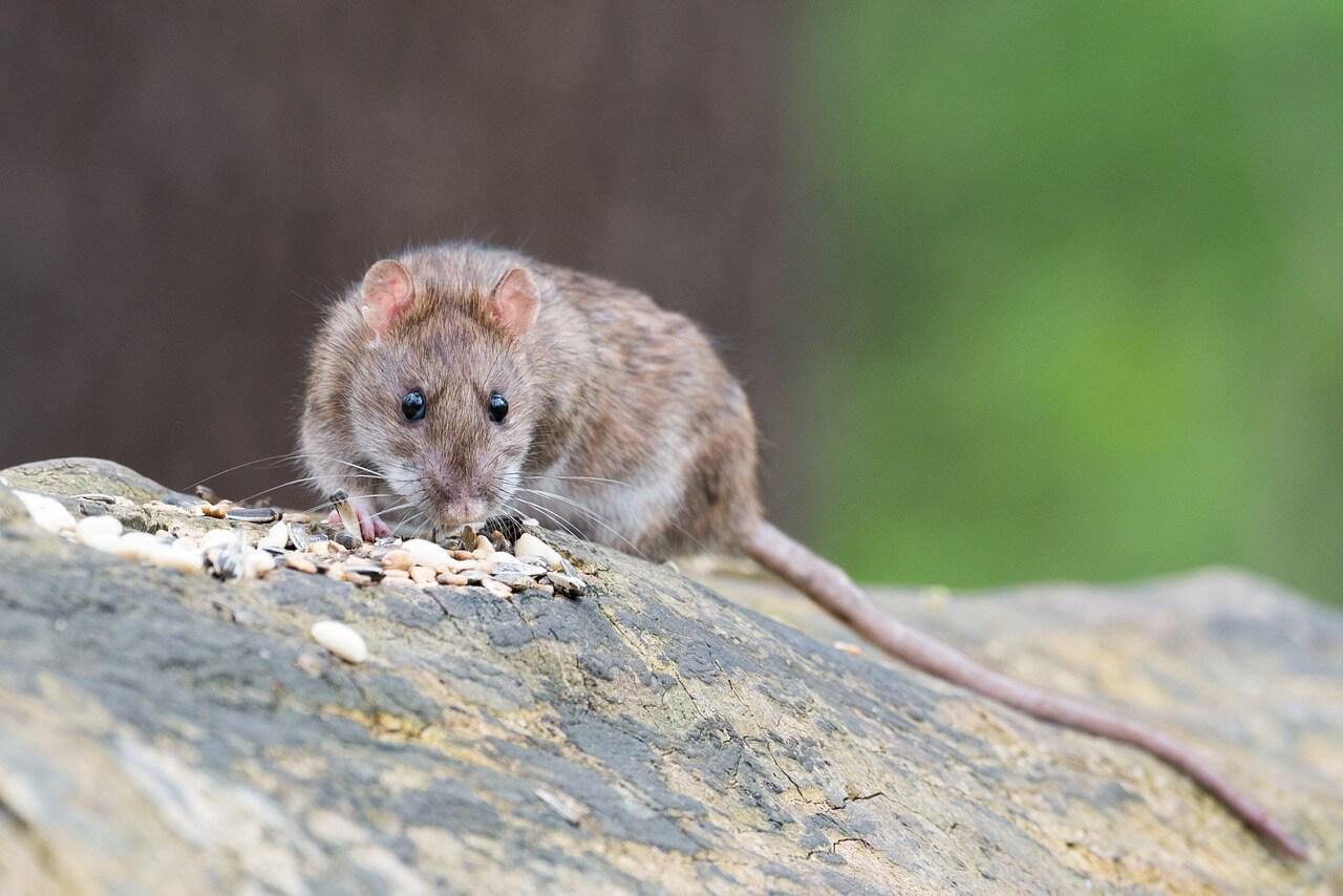 Rat Poisoning is Cruel